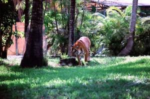 tiger at metro zoo