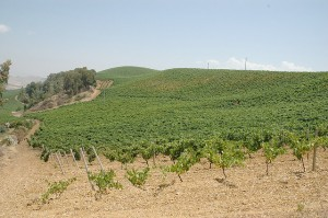 vineyards-siciliy