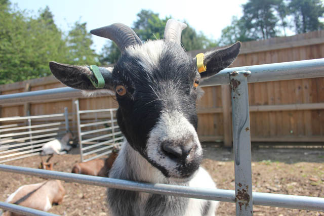 Center-Parcs-Elvedon-petting-zoo-goat