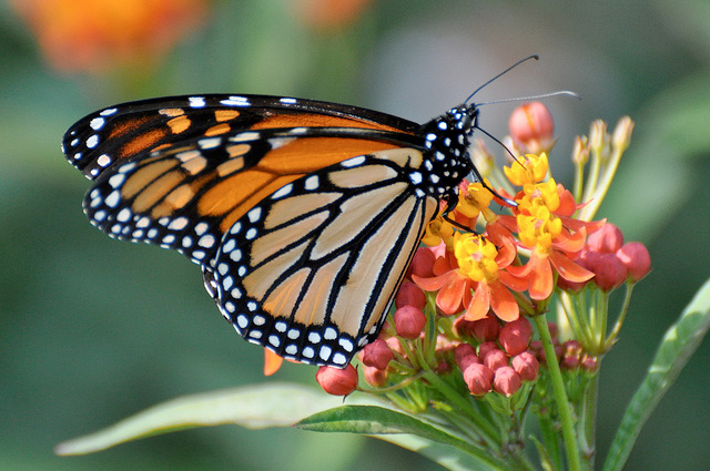 Monarch-Butterfly-Preservation