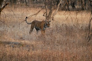 Ranthambore-National-Park-tiger