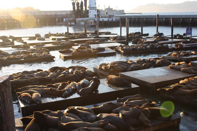 alcatraz-seals