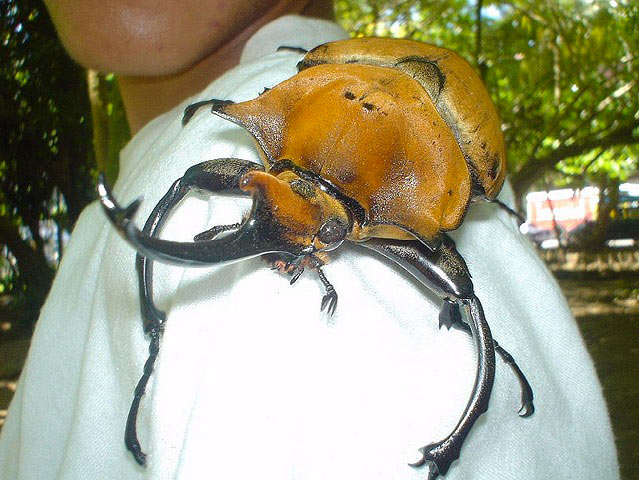 costa-rica-elephant-beetle