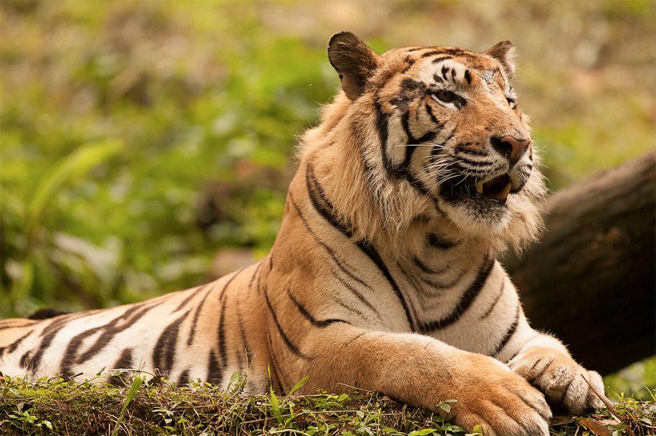 tiger-in-jakarta
