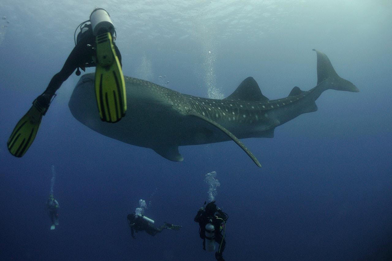 maldives-ocean-whale-shark-diving