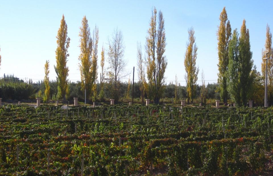wine-vinyard-argentina