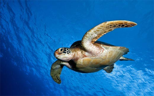 sea_turtle_kas_turkey_2a