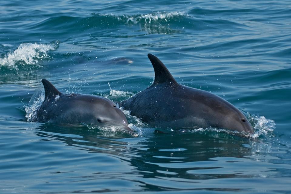 dolphins-capo-testa-sardinia