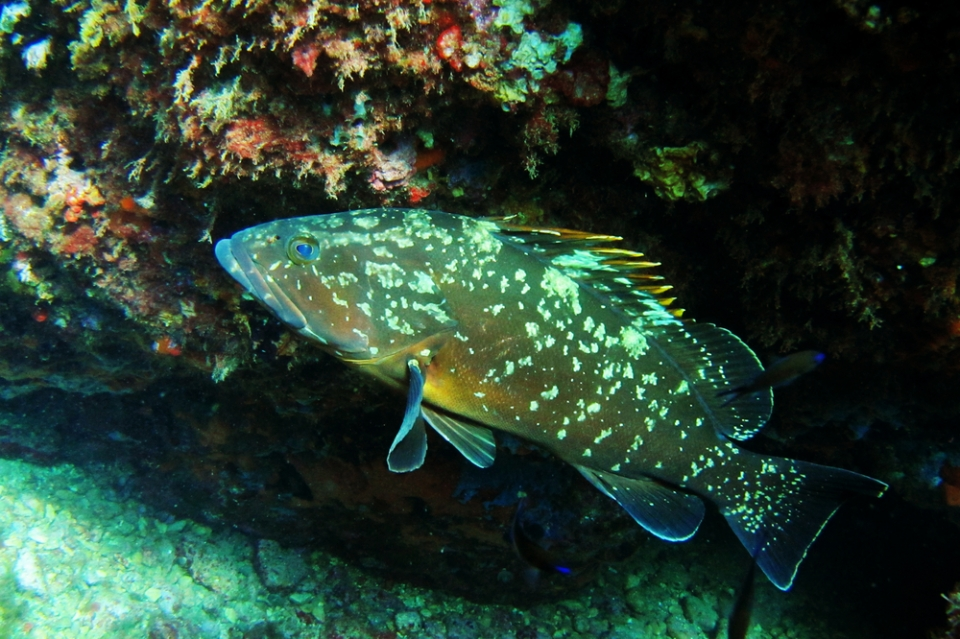 grouper-medes-islands