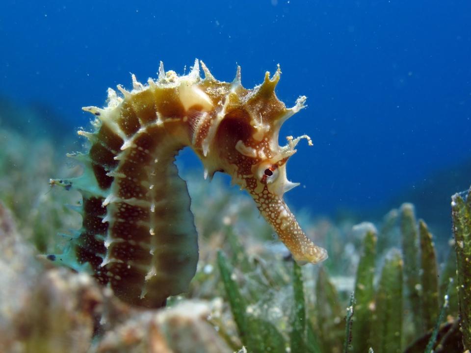 thorny-seahorse
