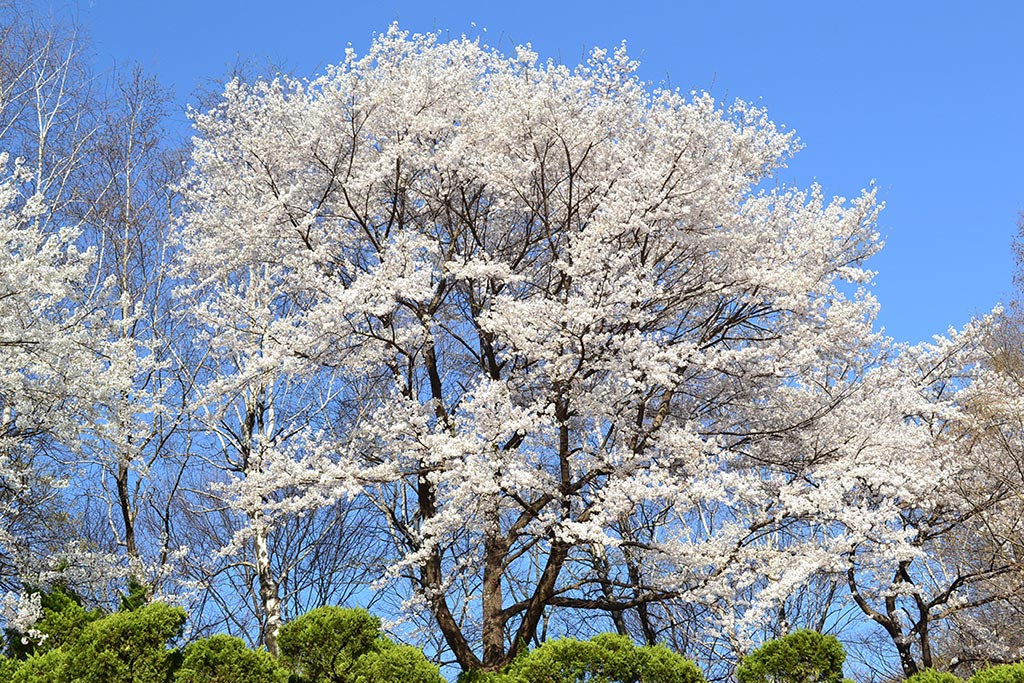 korea-tree